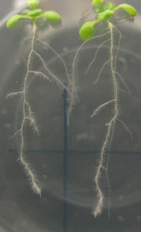 Arabidopsis seedlings showing lateral roots